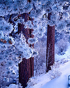 Delicate rime ice from poconip (Paiute word for ice fog) on Jeffrey pines, Pinus jeffreyi, above Lee Vining Creek, Inyo National Forest, California