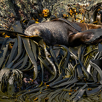 An Antarctic fur seal sleeps on bull kelp along the shoreline of Elsehul, a bay on the northwest coast of South Georgia Island.