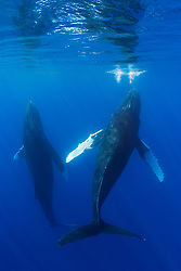 A pair of Humpback Whales, Megaptera novaeangliae, spyhopping, Hawaii, Pacific Ocean