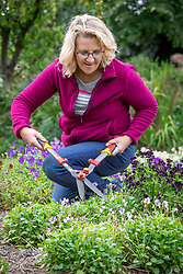 Trimming back violas with shears after they have finished flowering
