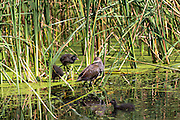 Moorhen and chicks on a pond in Oxfordshire