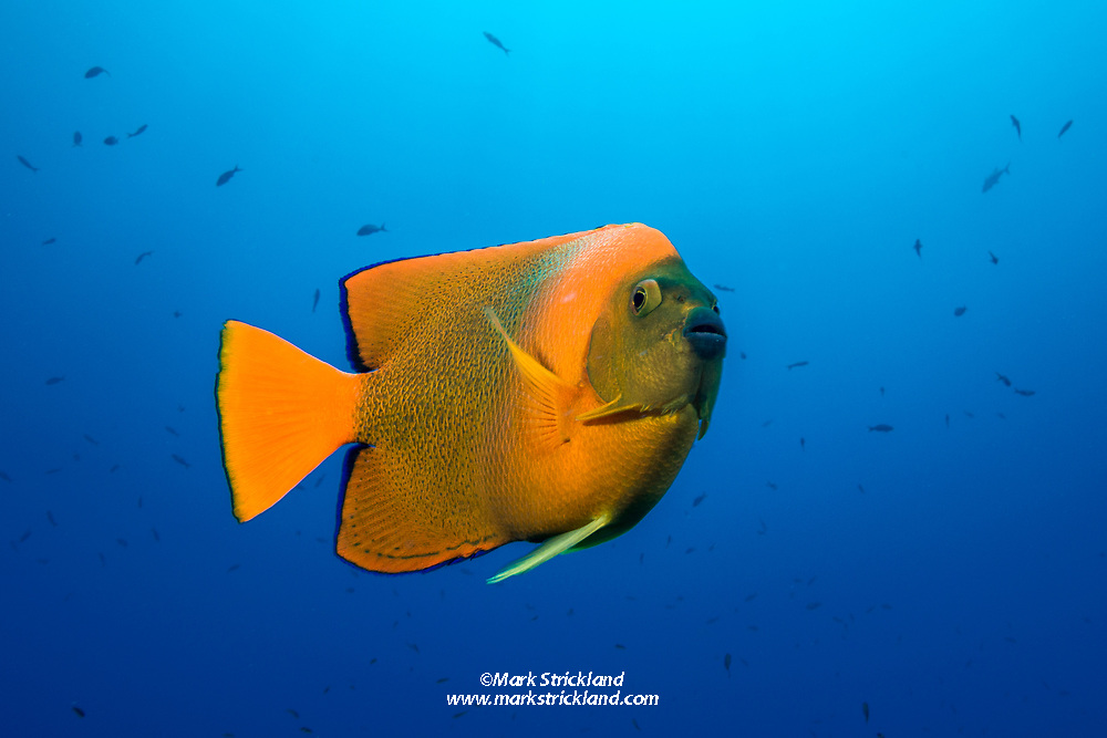 Clarion angelfish, Holacanthus clarionensis, Socorro, Revillagigedos Archipelago, Mexico, Pacific Ocean