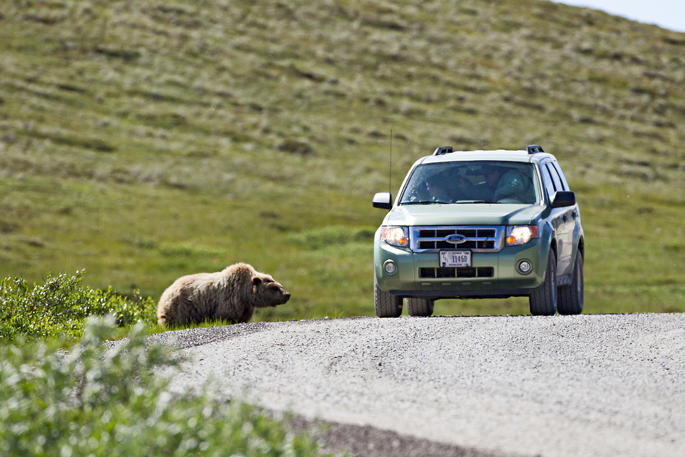Alaska.  Adult Brown Bear (Ursus arctos) at the edge of the road in Denali National Park looking up at a stationary SUV right next to it.
