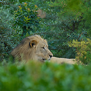 Male lion hiding in the bushes.