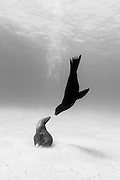 México, Baja California, Sea of Cortez. A male sea lion approaches to kiss a female sea lion sitting in a sandy bottom some 40 ft deep near Espiritu Santo Island.