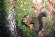 A Douglas Squirrel (Tamiasciurus douglasii) sits on a branch lit by the sun while eating tree seeds at Richmond Nature Park in Richmond, British Columbia, Canada