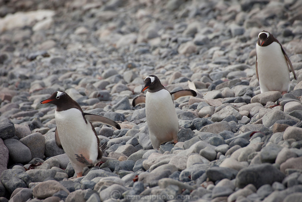 Cuverville Island, Antarctic Peninsula.  Nesting pairs on the Gentoo penguin colony on the island tend their eggs and chicks. They have to be vigilant to ward off skua birds who try to eat the eggs and chicks. The penguins swim to catch food for themselves and their chicks several times a day..