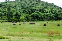 Nusa Tenggara, Lombok, Kuta. Water buffaloes not far from Kuta, Lombok.