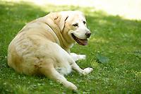 19 June 2010: White labrador K9 dog sitting in grass.