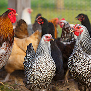 20171229 BR Chickens