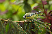 Blue tit (Cyanistes caeruleus) pecking at a pine branch near a feeder.