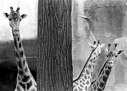 Shy giraffes at the Parc Zoologique, Bois de Vincennes, Paris, France, Tuesday, July 10, 1984. (Photo by D. Ross Cameron)