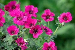 Geranium Cinereum Group Jolly Jewel Raspberry = 'Noortjjrab'
