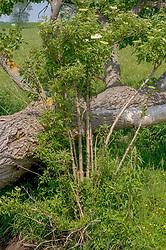 Gewone vlier, Sambucus nigra