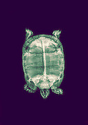 Spur-thighed Tortoise or Greek Tortoise (Testudo graeca) under x-ray top view
