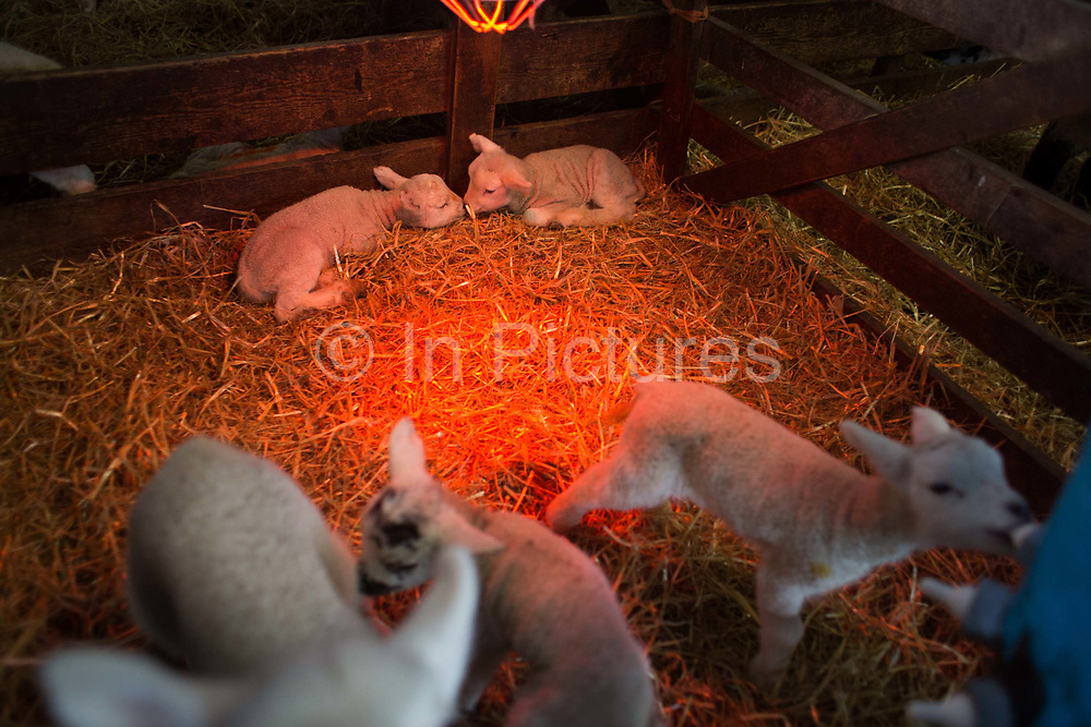 Spring is the lambing season in Scotland and Torsonce Mains Farm is busy lambing. New born lambs without mothers. Either they have died giving birth or the ewe had more than two lambs and can not take care of them herself. The lambs are kept warm under a heat lamp and they drink milk substitute from a barrell with fake teats.  The farm is owned by Stewart Ranciman and has 600 ewes all lambing from end of March till the end of April. Most will give birth to 2 lambs, occasionally 3 or even 4. The price of a 40 kg lamb is £60-70 and most are ready for sale 6-8 weeks later. Over 12 million lambs are slaughtered in the UK every year, producing more than 230,000 tonnes <br /> of meat.