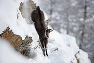 Chamois and Ibex, Gran Paradiso, Italy