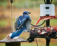Blue Jay. Image taken with a Nikon D850 camera and 200 mm f/2 VR lens.