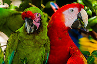 Lilac crowned parrot (green) (Loro occidental) and Scarlet Macaw (red), Xcaret Park (Eco-archaeological Theme park), Riviera Maya, Quintana Roo, Mexico.