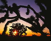 Sun setting through Joshua Trees, Yucca brevifolia, along the Mojave Trail east of the Cinder Cones, Mojave National Preserve, California.