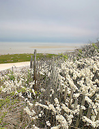 Beach Plums grow in open areas near salt water.