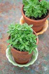 Ocymum minimum - Bush basil - growing in terracotta pots