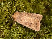 Close-up of a Rustic moth (Hoplodrina blanda) resting on moss in a Norfolk garden in summer
