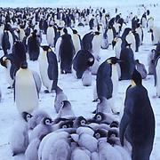 Emperor Penguin, (Aptenodytes forsteri) Creche of chicks keeping warm.Riiser Larsen ice shelf. Antarctica.