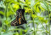 Black Swallowtail Pair on Cut-leaf Coneflower