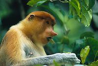 A female proboscis monkey munches on leaves in Kinabatangan Wildlife Sanctuary, Borneo Island.