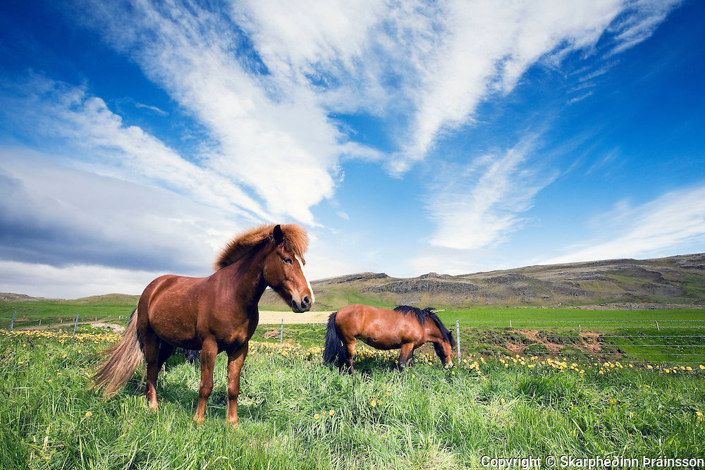 Horses in Haukadalur, south-west Iceland