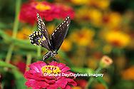 03009-00809 Black Swallowtail (Papilio polyxenes) on Zinnia sp., Marion Co.  IL