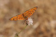 Lesser Spotted Fritillary (Melitaea trivia) Butterfly  shot in Israel, Summer June