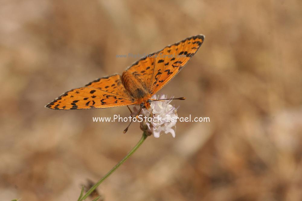 Lesser Spotted Fritillary (Melitaea trivia) Butterfly  shot in Israel, Summer June
