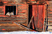 A furry feline of the Maine Coon breed, takes in some sun as it rests in the window of a weathered barn along the Wasatch mountains in Northern Utah. Colin Braley