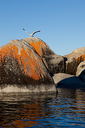 """""""Seagull on a Tahoe Boulder 1"""" - This seagull flapping it's wings while standing on a orange, black, and grey boulder was photographed near Speedboat Beach, Lake Tahoe."""
