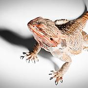 Pixel the Bearded Dragon photographed by Hype photographer Stuart Freeman.