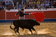 Professional bullfighter Oscar Higares  guides a charging bull with his cape during the annual village festival of San Juan in Campos del Rio, near Murcia in southern Spain.  (Oscar Higares is featured in the book What I Eat: Around the World in 80 Diets.) After a dozen more passes, he kills the bull on his first attempt, eliciting a standing ovation from the crowd, which awards him the bull's ears and tail. Oscar and the bull spend just under 15 minutes together in the ring (an anxious period in which Oscar must control not only the objective dangers, but also his fear).  Each bullfight ends with the killing of the bull by the matador (bullfighter).MODEL RELEASED.