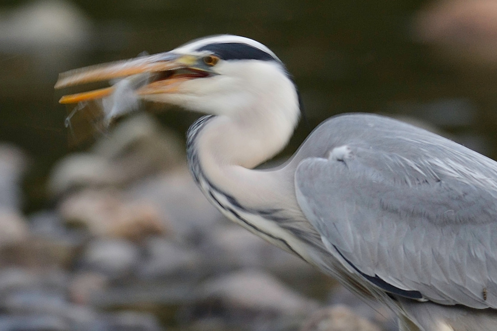 Grey heron, Ardera cinerea, Arda river, Eastern Rhodope mountains, Bulgaria