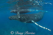 humpback whale mother and calf, Megaptera novaeangliae, with snorkeler carrying camera in background, near Nomuka Island, Ha'apai group, Kingdom of Tonga, South Pacific