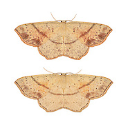 70.036 (1680)<br /> Maiden's Blush - Cyclophora punctaria
