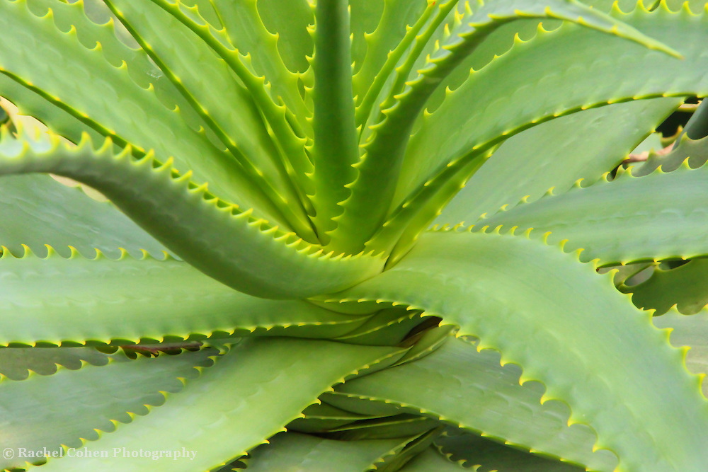 """""""Aloe Vera Defined""""<br /> <br /> A lovely example of the beautiful Aloe Vera plant!!<br /> <br /> Nature of this World by Rachel Cohen"""