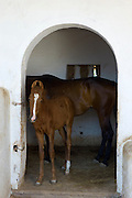 Marwar horses in stables at Rohet Garh fortress palace heritage hotel in Rohet in Rajasthan, Northern India