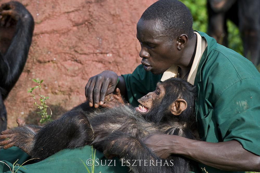 Chimpanzee<br /> Pan troglodytes<br /> Rodney Lemata (Caretaker) grooming rescued chimpanzee infant, Leo<br /> Ngamba Island Chimpanzee, Sanctuary <br /> *Model release available - Release #MR_007