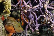 stoplight parrotfish, Sparisoma viride, <br /> intermediate phase, sleeping on reef amid purple sponges, <br /> Cozumel Island,  Mexico  ( Caribbean Sea )