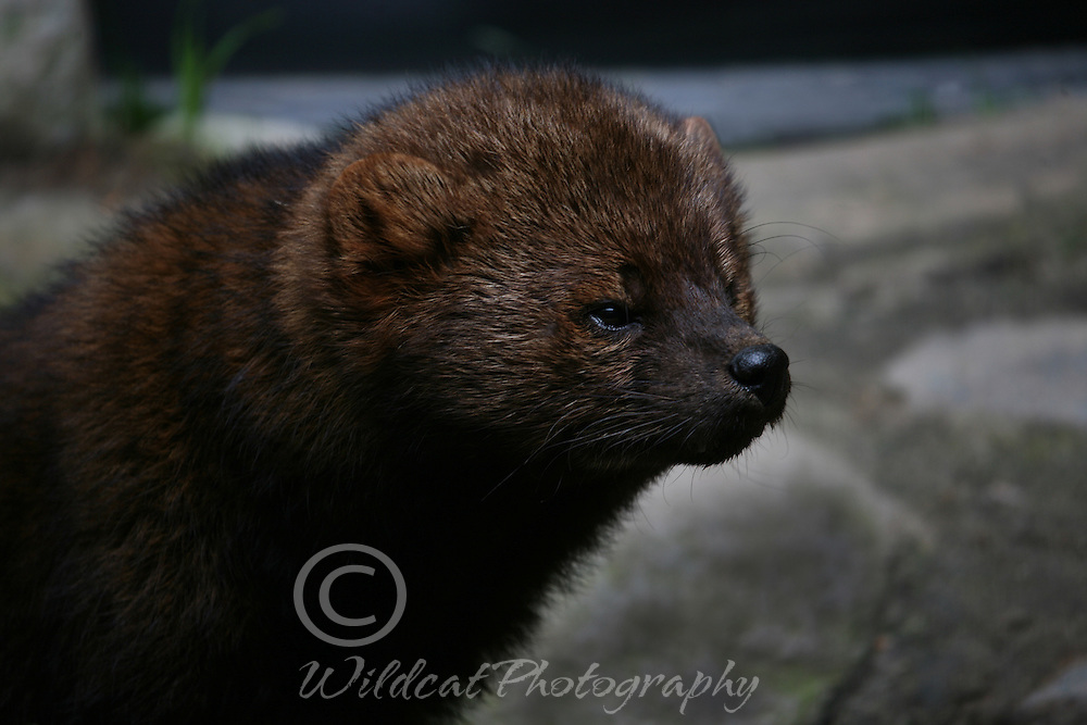 Fishers don't fish, but can kill porcupines.