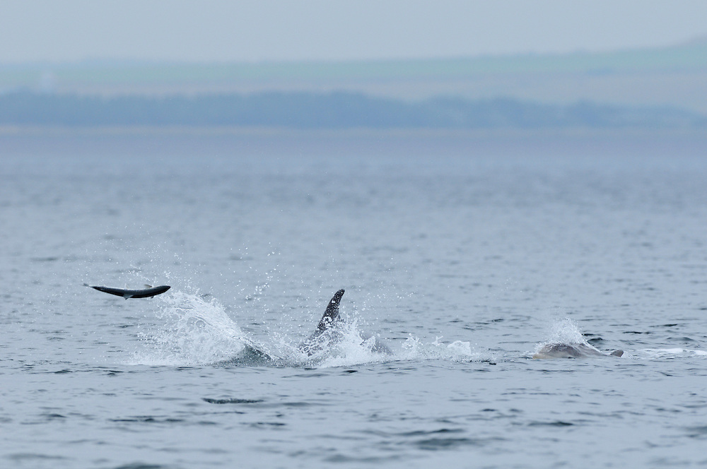 Bottle-nosed Dolphin throwing salmon,<br /> Tursiops truncatus,<br /> Moray Firth, Nr Inverness, Scotland - July