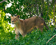 Lioness stands alert in cool riverine forest vegetation along the Chobe River, Chobe National Park, Botswana. © David A. Ponton
