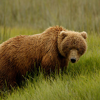 This grizzly bear poses in the tall grass of Lake Clark National Park in Alaska.