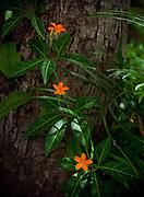 Beautiful orange flowers bloom on a vine growing up a tree.